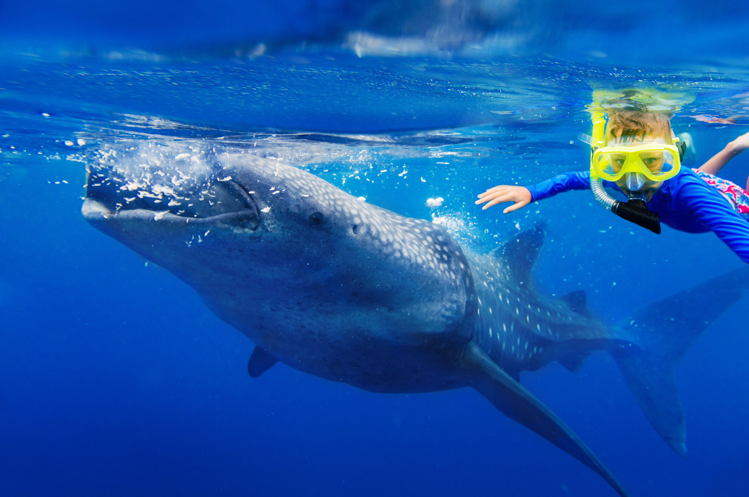 como-es-nadar-con-tiburon-ballena