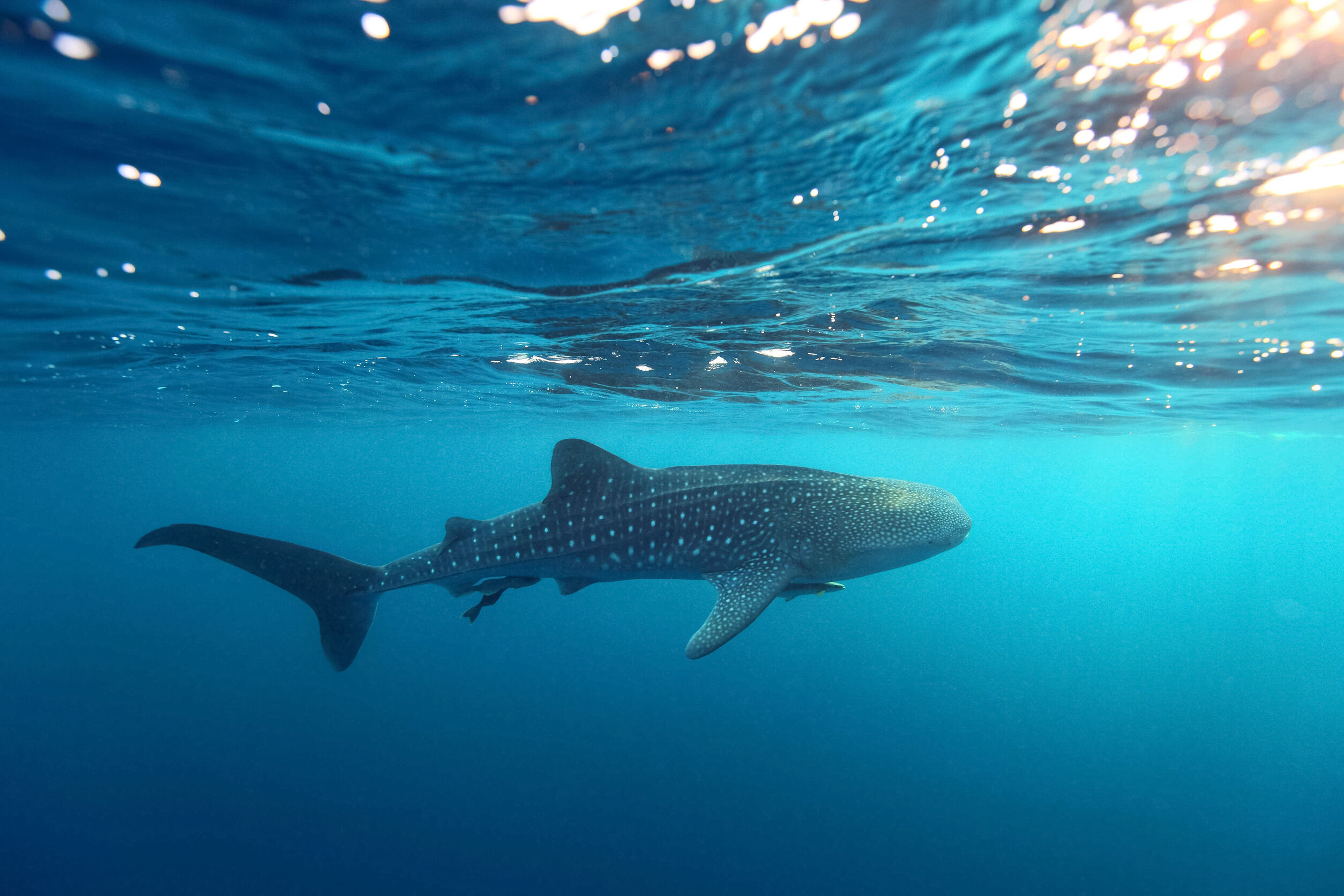 donde-nadar-tiburon-ballena