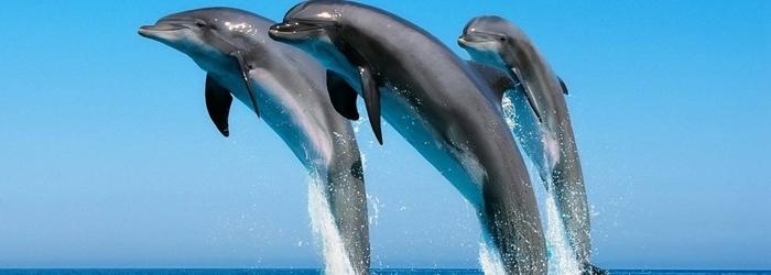 dia_mundial_de_los_animales_-_Delphinus.png