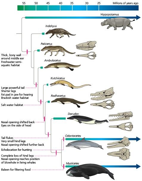 evolucion-delfines-rinocerontes-delphinus.jpg
